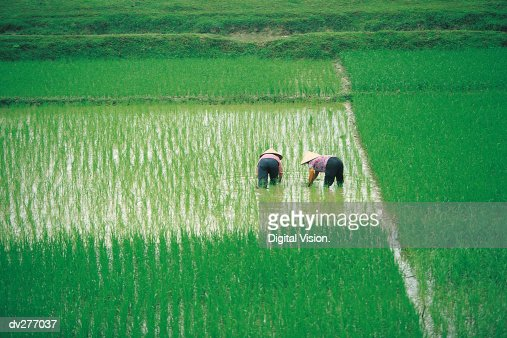 Vietnamese working women in rice paddy : Stock Photo