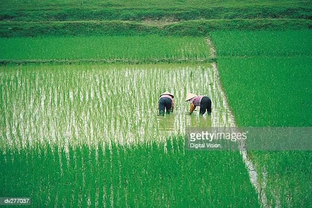 Vietnamese working women in rice paddy