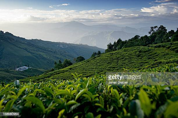 A view across a tea plantation as the sun sets over the mountains The mountains around Darjeeling are naturally gifted with the perfect soil and...