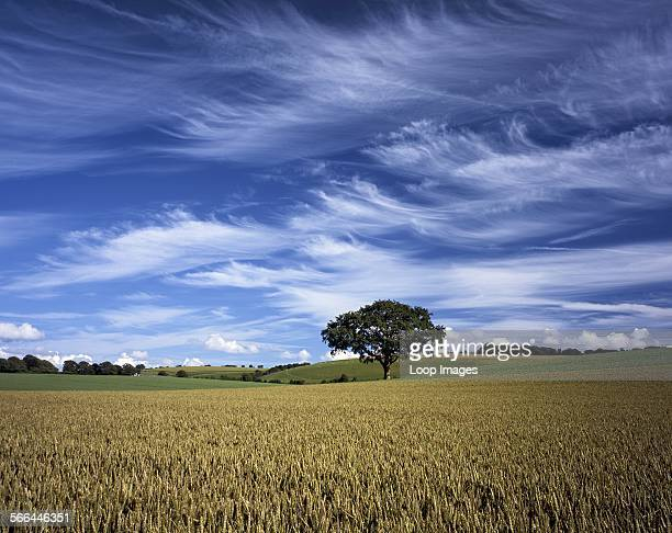 A view across a wheatfield in Hampshire