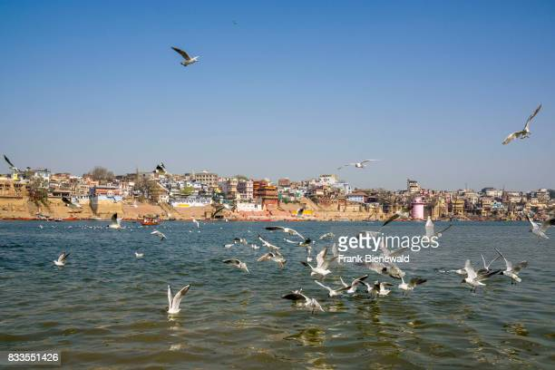 View across the river over the ghats at the holy Ganges many seagulls are swimming and flying