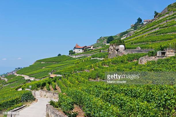 View across the vineyards near Vevey, Lake Geneva at back, Vevey, Canon Vaud, Lake Geneva, Switzerland, Europe