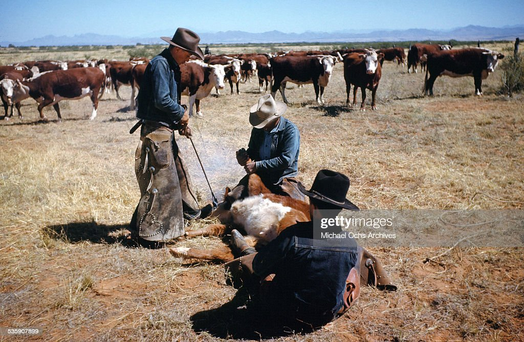 A view as a cattle rancher brands a cow in Montana.
