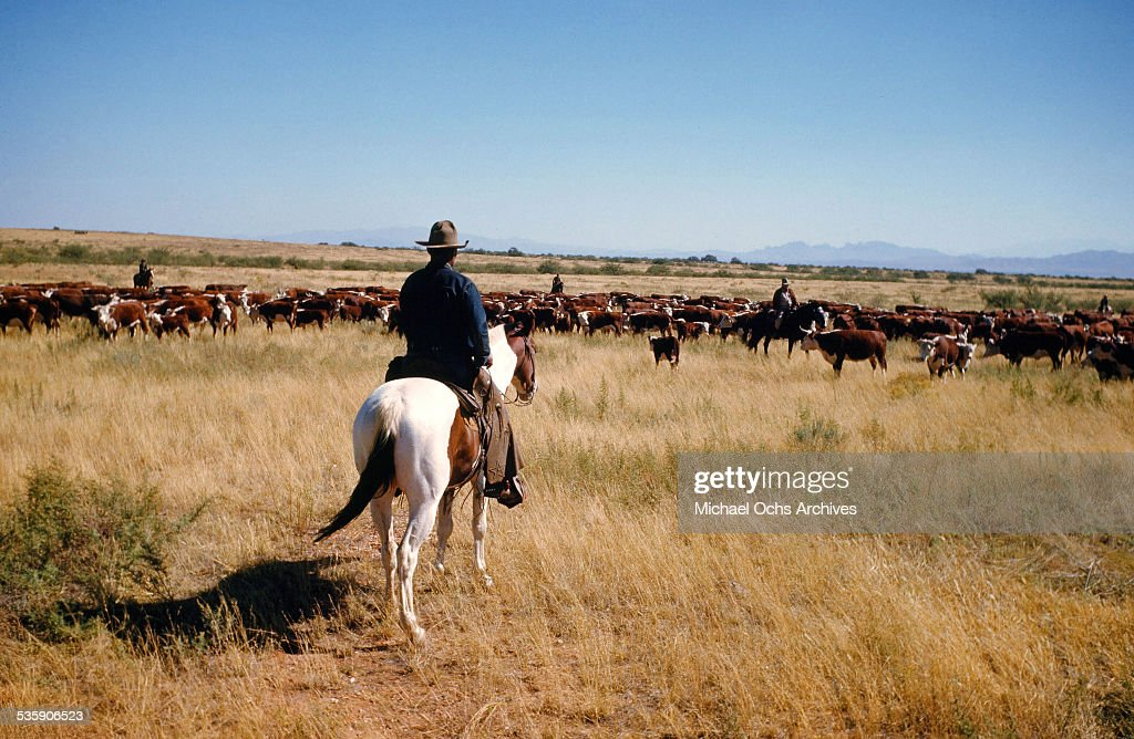 A view as a cattle rancher herds cows in Montana.