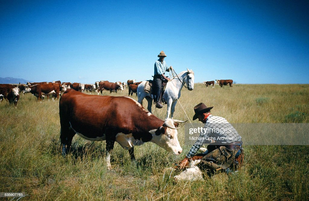 A view as a cattle rancher ropes a calf in Montana.