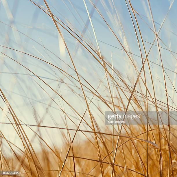 View close up of dense sea grasses on the shore at Long Beach Peninsula,near Oysterville,Washington.