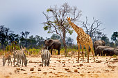 Vibrant waterhole infant of our camp In Hwange with Giraffe, Zebras and Elephants