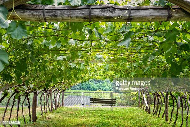 View from under a grapevine covered pergola