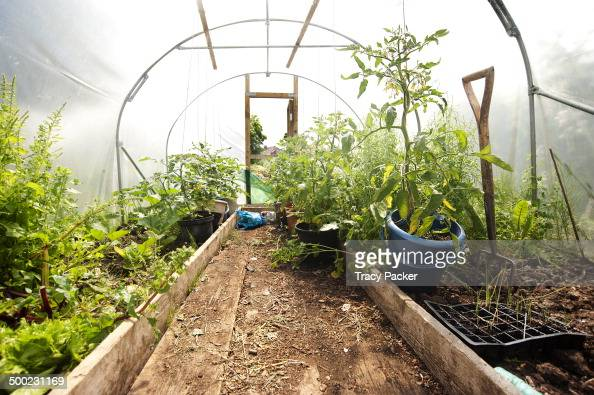 A view inside a polytunnel where tomato plants and lettuce are being grown in the accessible Community Garden at Golden Hill in Bristol