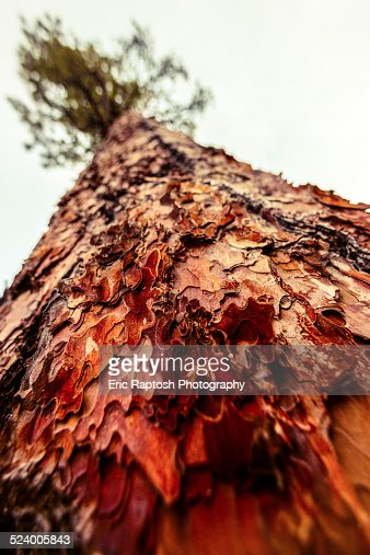 View looking up to trunk of a mature Douglas Fir
