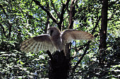 A view of a Barn Owl in a tree