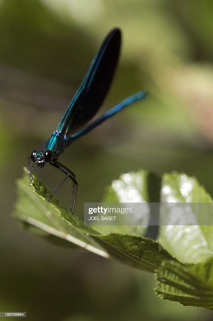 View of a blue dragonfly taken in Audenge, western France, at the bassin d'Arcachon on August 12 , 2012.