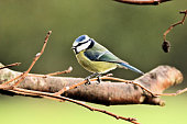 A view of a Blue Tit in my garden in Whitchurch