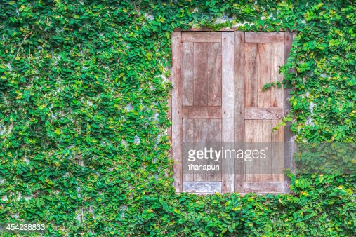 View of a closed wood window wall covered with ivy : Stock Photo