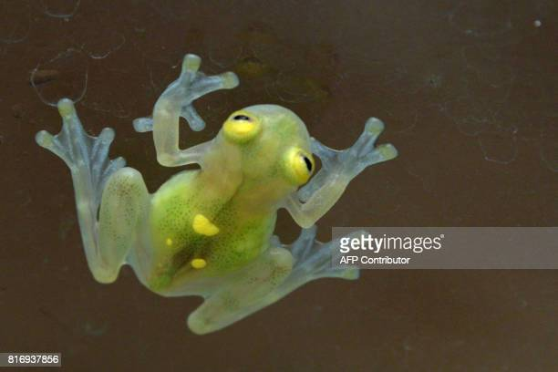 View of a Cristal del Sol frog at the amphibian conservation center Jambatu in the locality of San Rafael southeast Quito on July 4 2017 Ecuador is...