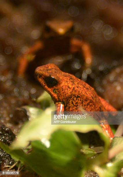 View of a 'diablito' frog at the amphibian conservation center Jambatu in the locality of San Rafael southeast Quito on July 4 2017 Ecuador is...