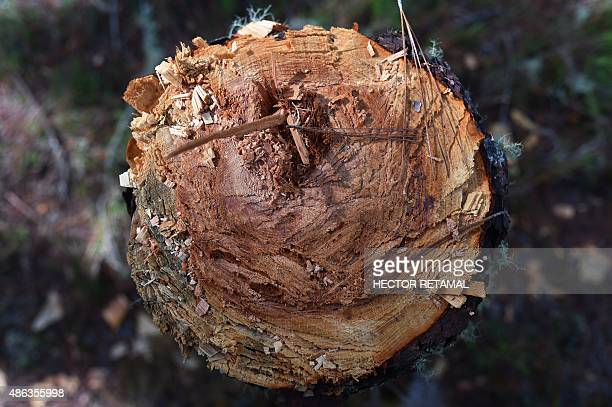 View of a felled tree in La Visite National Park in Seguin in the commune of Kenscoff on September 2 2015 Haiti currently has lost ninetyeightpercent...