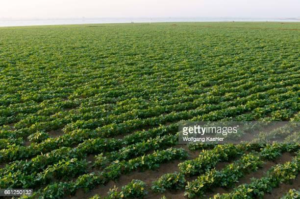 View of a field with peanuts next to U Bein Bridge at Taungthaman Lake near Amarapura Mandalay Myanmar