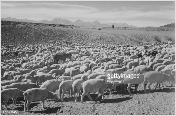 View of a flock of sheep in Owens Valley 1941