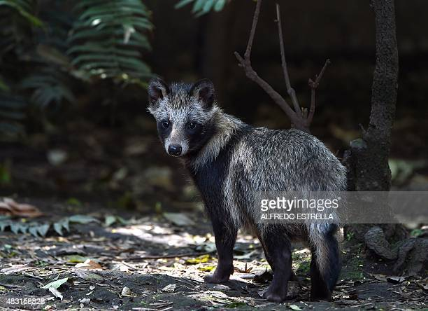 View of a group of raccoon dogs or Tanuki at the Chapultpec Zoo in Mexico City on August 06 2015 A month ago nine raccoon dog pups were born This...