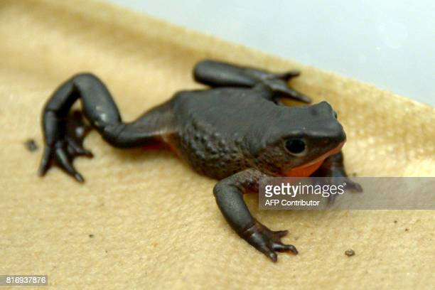 View of a Jambato toad at the amphibian conservation center Jambatu in the locality of San Rafael southeast Quito on July 4 2017 Ecuador is promoting...