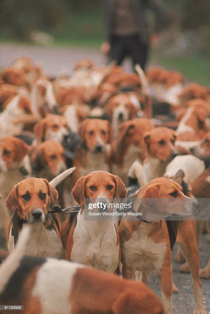 View of a large number of foxhounds chained together prior to the start of a hunt Ireland 1968