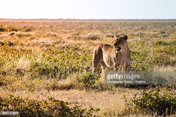 View Of A Lion