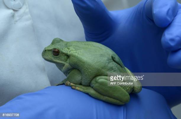 View of a marsupial frog at the amphibian conservation center Jambatu in the locality of San Rafael southeast Quito on July 4 2017 Ecuador is...