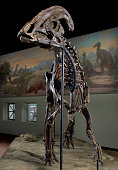 View of a mounted fossil skeleton from a Hadrosaur December 1 2005