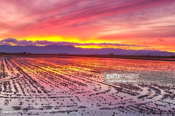 view of a paddy field in Delta del Ebro, in Catalonia, Spain