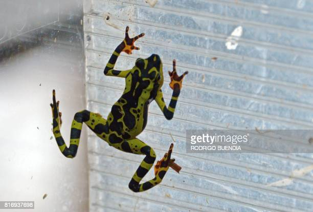 View of a phantasmal poisonarrow frog at the amphibian conservation center Jambatu in the locality of San Rafael southeast Quito on July 4 2017...