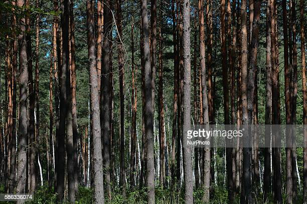 A view of a pine forest in Krakow Poland on August 5 2016 The nature reserve 'Bor' is located near a small town Glogow Malopolski in Rzeszów County...