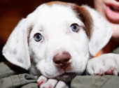 A view of a puppy at the North Shore Animal League America's Tour For Life Pet Adoption Event on April 26 2012 in New York United States