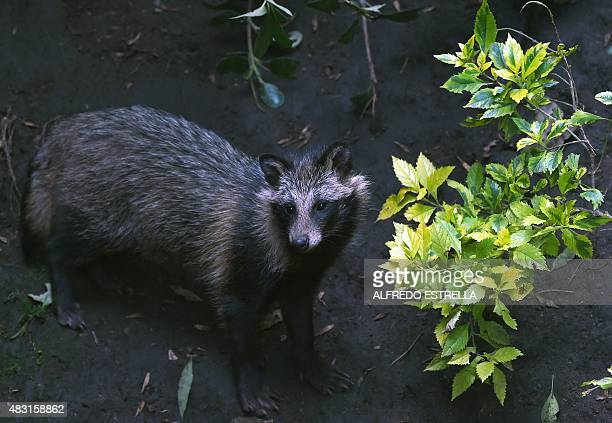 View of a raccoon dog or Tanuki at the Chapultpec Zoo in Mexico City on August 06 2015 A month ago nine raccoon dog pups were born This species is...