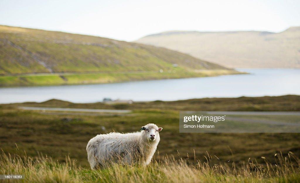 A view of a sheep nearby Sorvagsvatn lake on September 7 2013 in Torshavn Faroe Islands