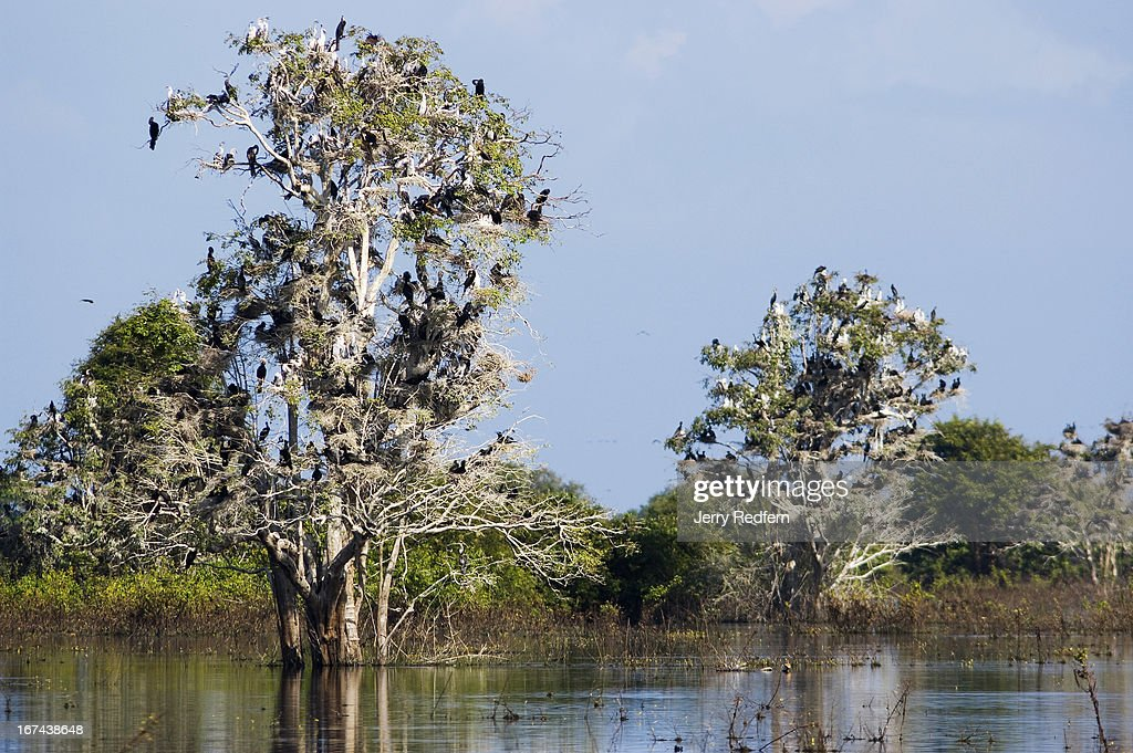 View of a tree covered in nesting darters and cormorants in the Prek Toal Core Area of the Tonle Sap Biosphere Reserve. Prek Toal, a key area of the UNESCO-founded Tonle Sap Biosphere Reserve, is the region's last breeding stronghold for seven rare and endangered birds. Prek Toal is home to Southeast Asia's largest colonies of black-headed ibis, painted storks and lesser adjutants. It supports Southeast Asia's only colony of milky storks, the world's second largest population of greater adjutants, and the world's largest grouping of spot-billed pelicans..