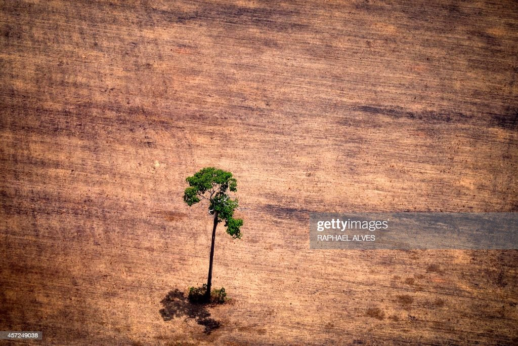 View of a tree in a deforested area in the middle of the Amazon jungle during an overflight by Greenpeace activists over areas of illegal exploitation of timber, as part of the second stage of the 'The Amazon's Silent Crisis' report, in the state of Para, Brazil, on October 14, 2014. According to Greenpeace's report, timber trucks carry at night illegally felled trees to sawmills, which then process them and export the wood as if it was from a legal origin to France, Belgium, Sweden and the Netherlands. AFP PHOTO / Raphael Alves