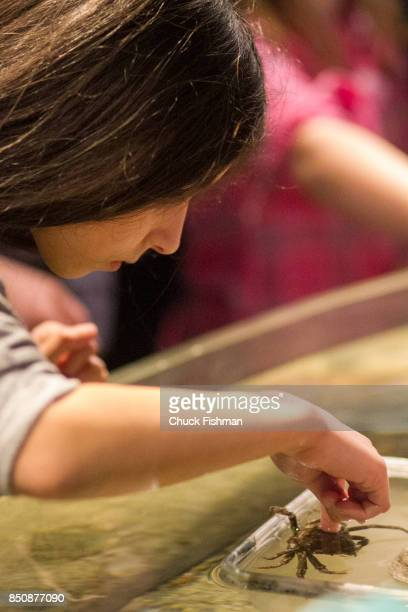 View of a young girl as she pokes at a spider crab in a touch tank at the Maritime Aquarium Norwalk Connecticut January 29 2017