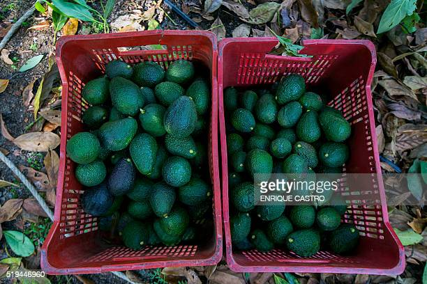 View of acocados in baskets during the harvest at an orchard in Uruapan municipality Michoacan State Mexico on April 6 2016 Since the oil sector was...