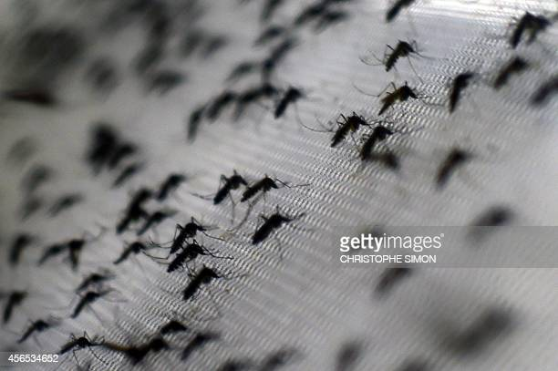 View of Aedes aegypti mosquitoes infected with the Wolbachia bacterium which reduces mosquito transmitted diseases such as dengue and chikungunya by...