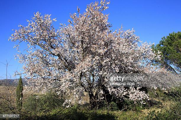 A view of an almond tree in bloom near Perpignan southern France on March 7 2014 AFP PHOTO / RAYMOND ROIG