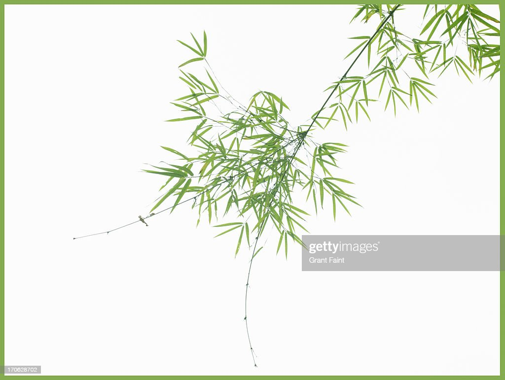 View of bamboo branches