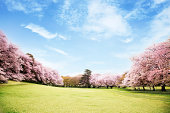 View of beautiful cherry blossoms, which is in full bloom.