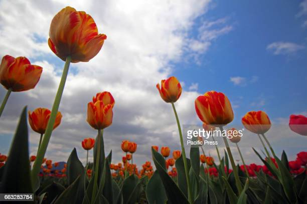 A view of blooming Tulips in Asias largest Tulip Garden on Saturday in Srinagar Indian Controlled Kashmir on April 1 2017 Indira Gandhi Memorial...