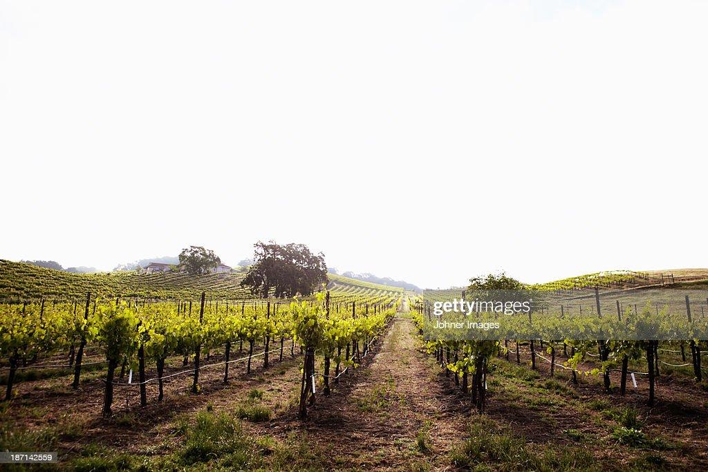 View of Californian vineyard, Napa Valley