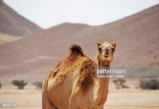 View Of Camel