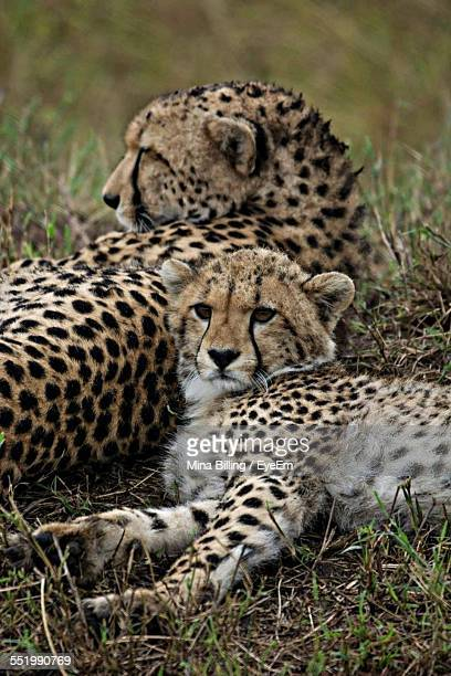 View Of Cheetah Family Lying In Field