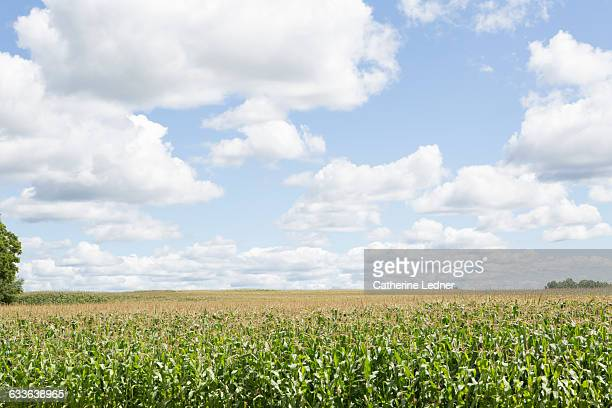 View of corn fields and puffy clouds