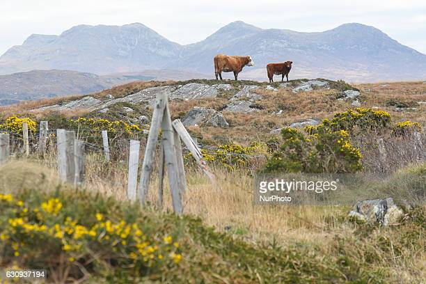 A view of cows and nature near Errislannon village in Connemara On Tuesday 3 January 2017 in Errislannon Connemara County Galway Ireland