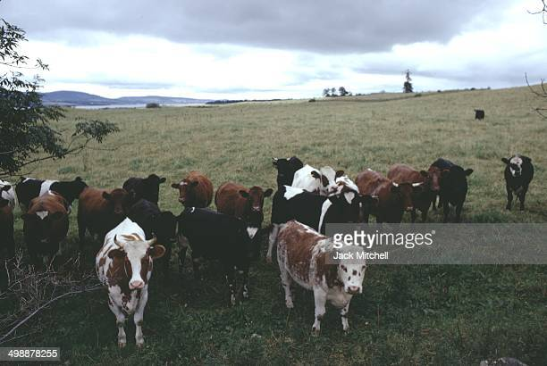 View of cows on the property of British pop artist Gerald Laing a castle in the Scottish Highlands Scotland 1970